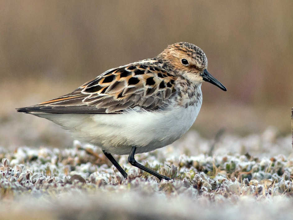 Little Stint - Tom Johnson