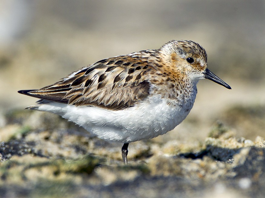 Little Stint - Dorian Anderson