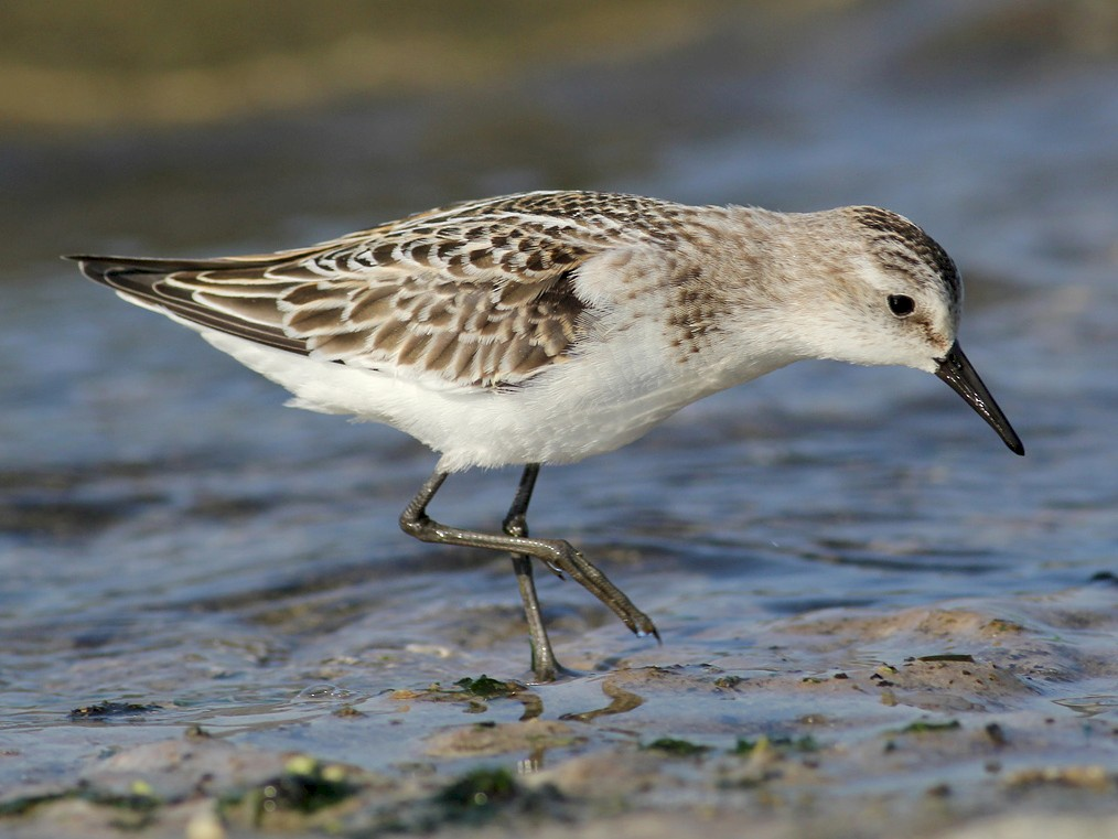 Little Stint - Adrien Mauss