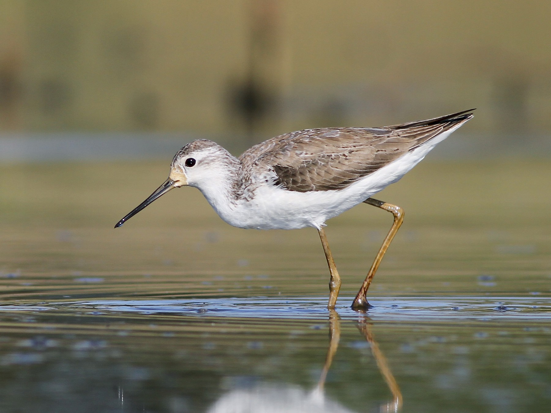 Marsh Sandpiper - Chris Wiley