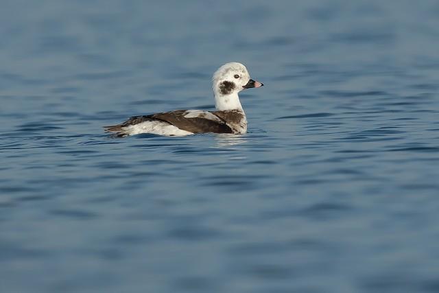 ©PMDE ESTEVES - Long-tailed Duck