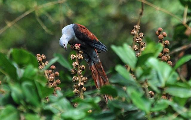 Great Cuckoo-Dove