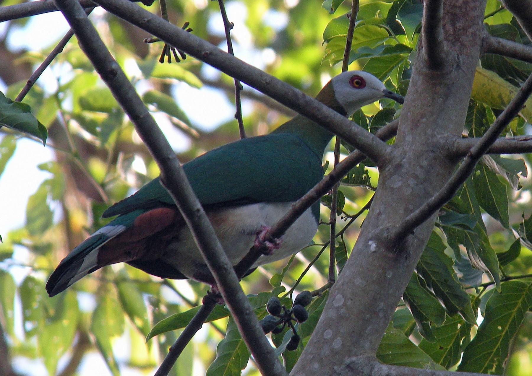 White-bellied Imperial-Pigeon - Nigel Voaden