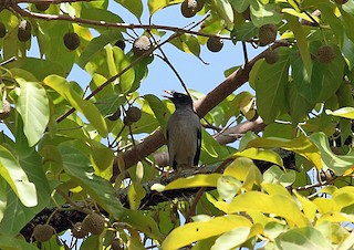 - Pale-bellied Myna