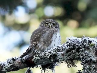 - Eurasian Pygmy-Owl