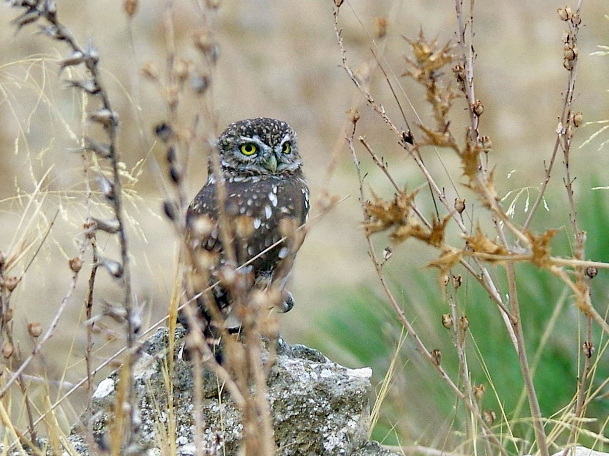 Little Owl - Thibaud Aronson