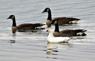 Ross's Goose, ML46341841