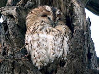- Tawny Owl
