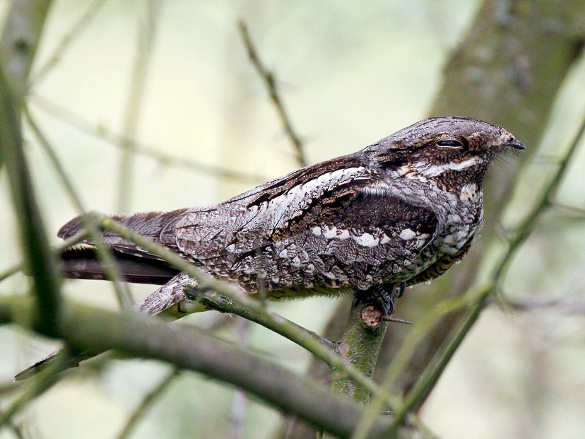 Eurasian Nightjar - Peter Kennerley
