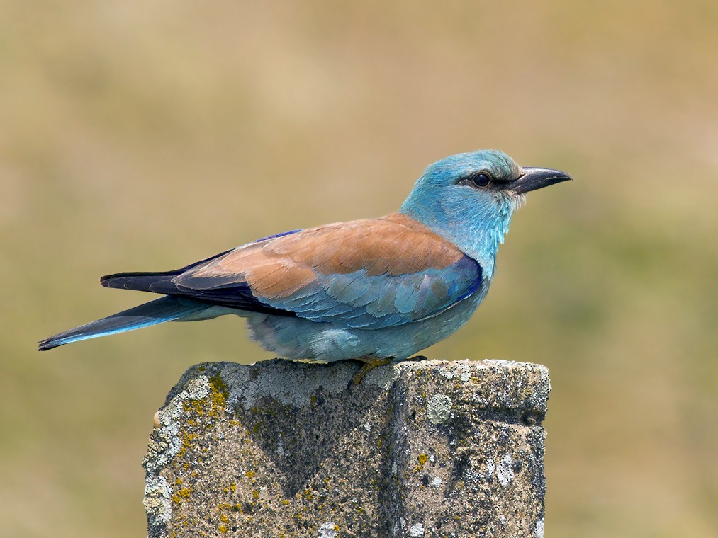 European Roller - Javi Elorriaga