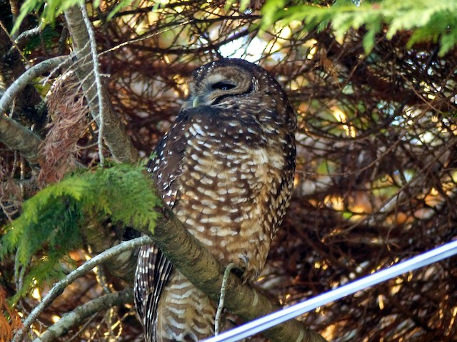 Spotted Owl (Northern)