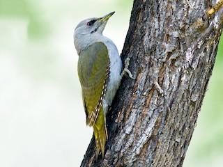 - Gray-headed Woodpecker