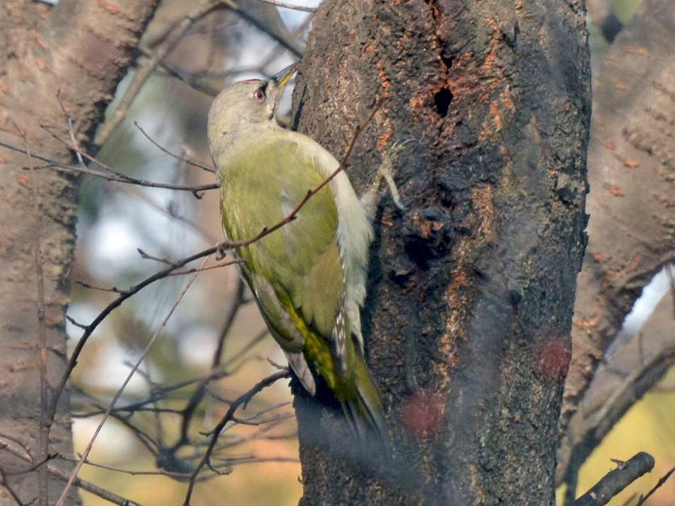 Gray-headed Woodpecker - Henrik Thorlund