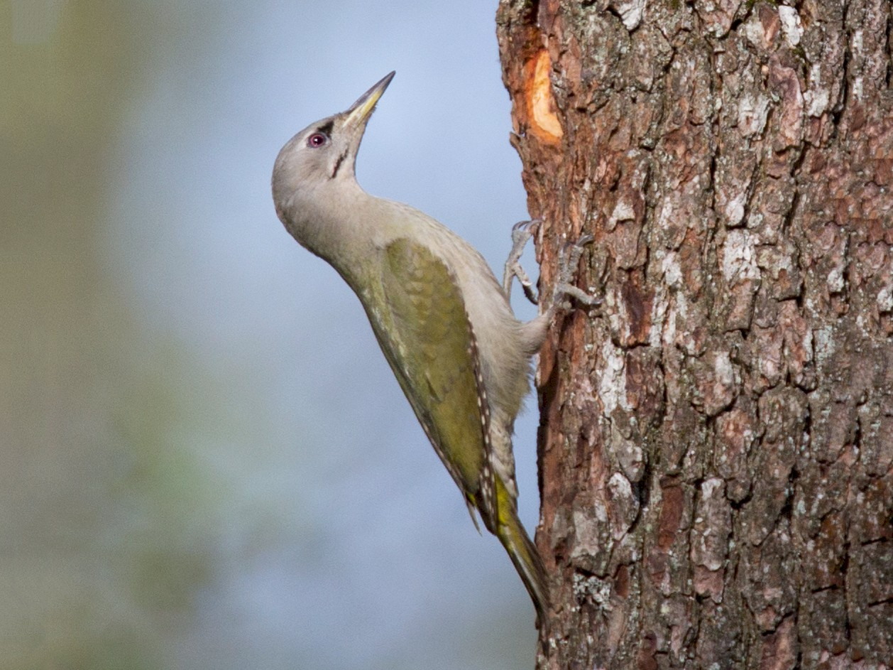Gray-headed Woodpecker - Robert Lewis
