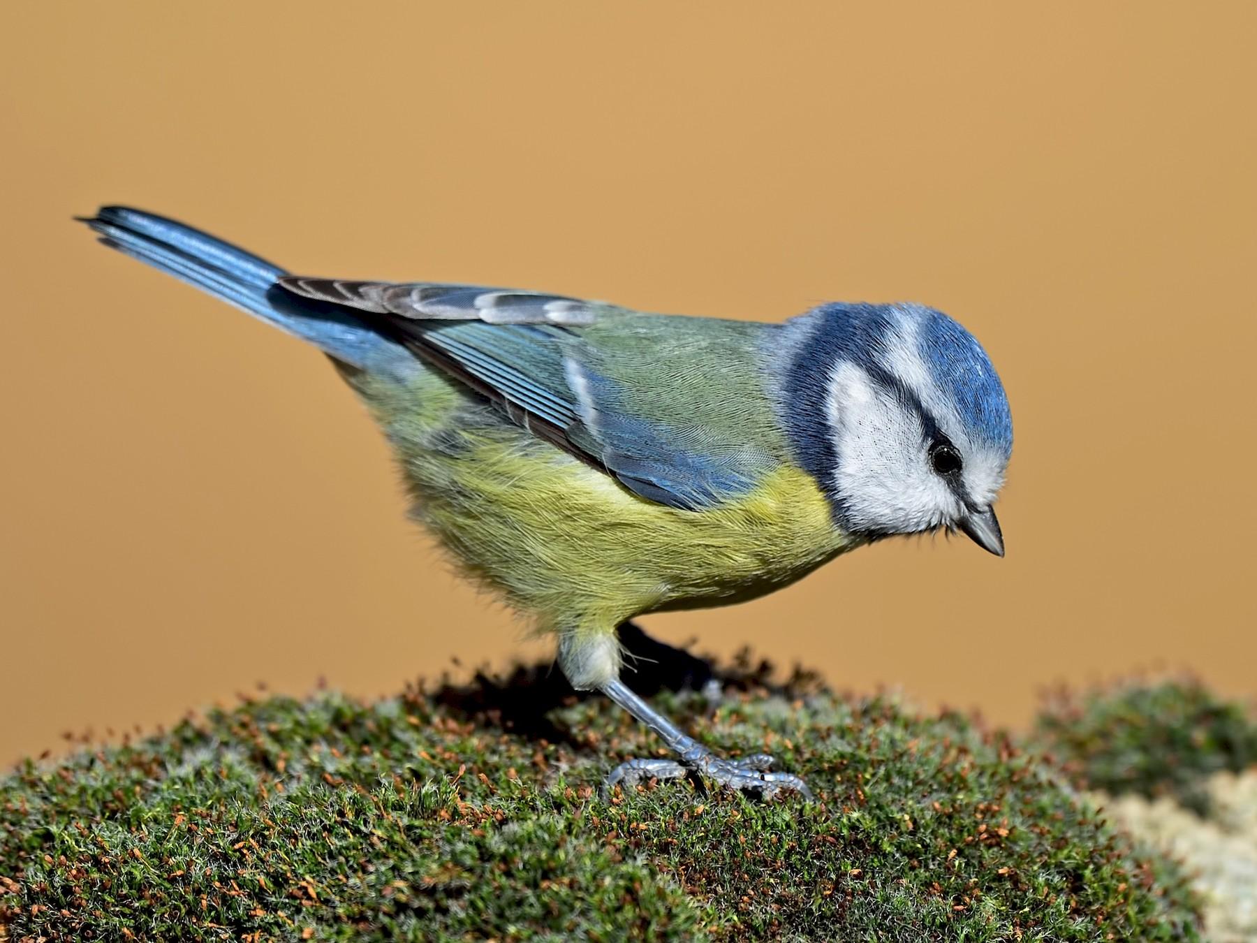 Eurasian Blue Tit - Ferit Başbuğ