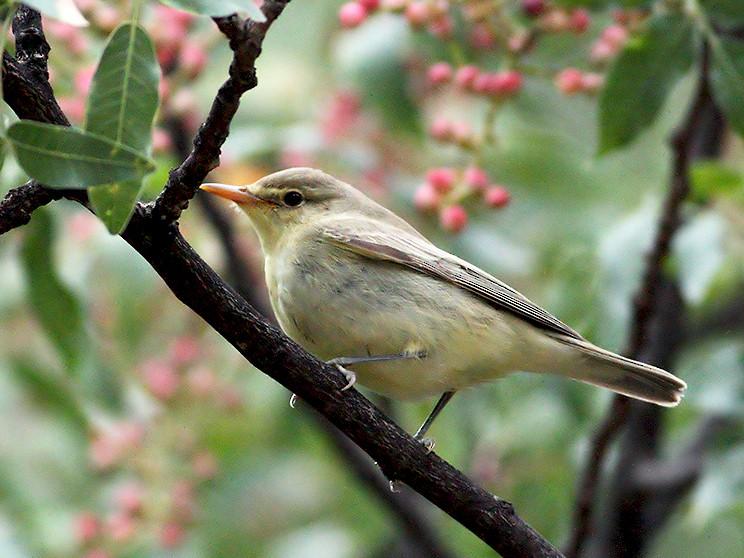 Icterine Warbler - Pavlos Andriopoulos