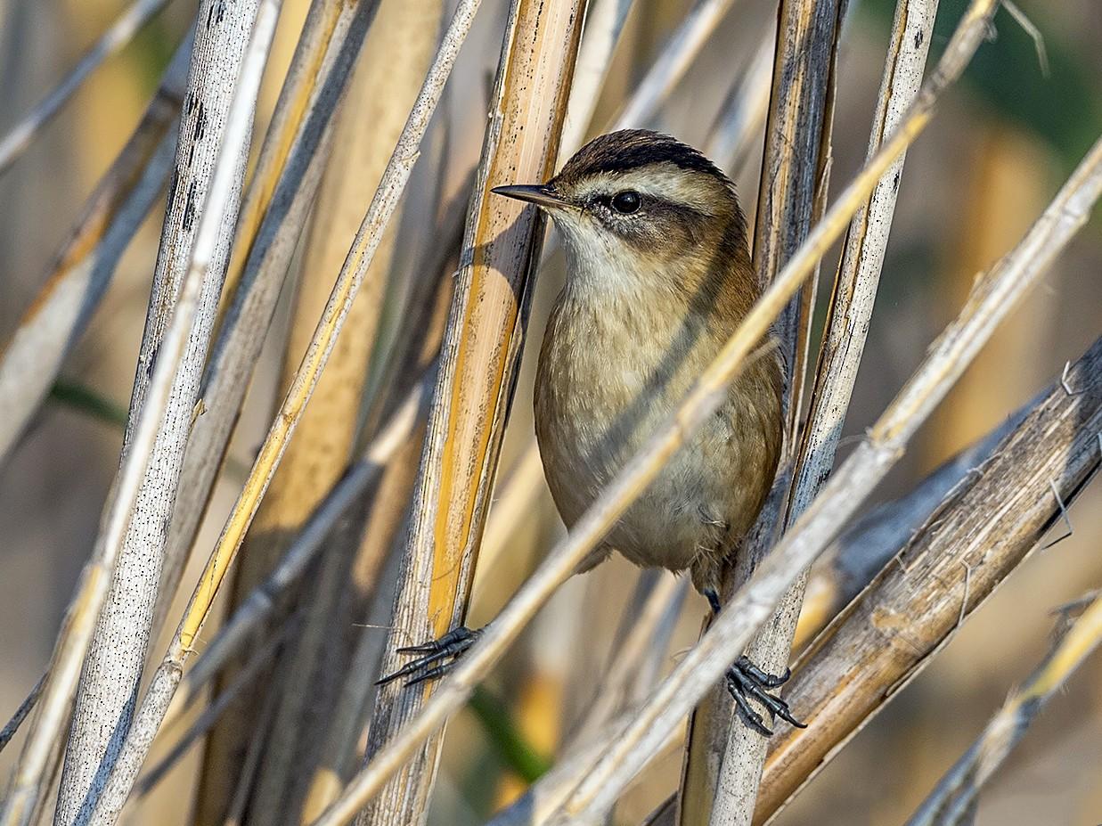 Moustached Warbler - H. Çağlar Güngör