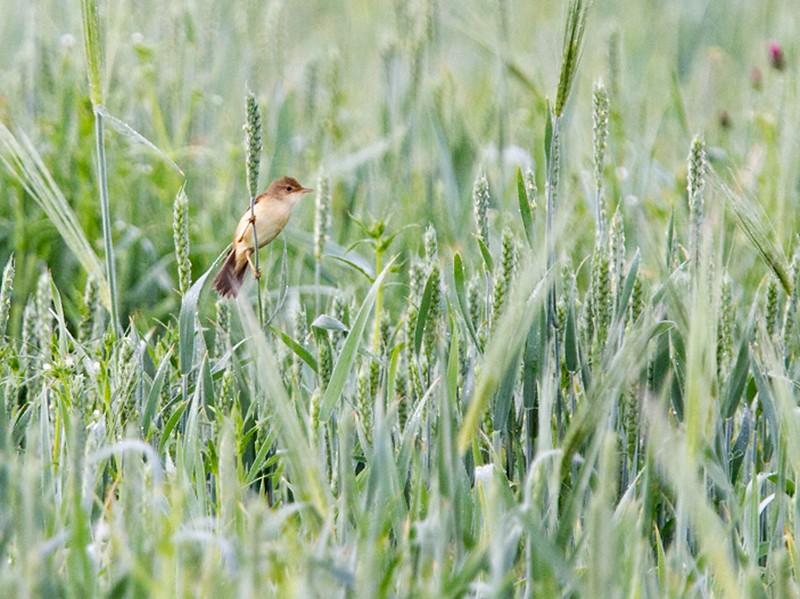 Marsh Warbler - Yann Kolbeinsson