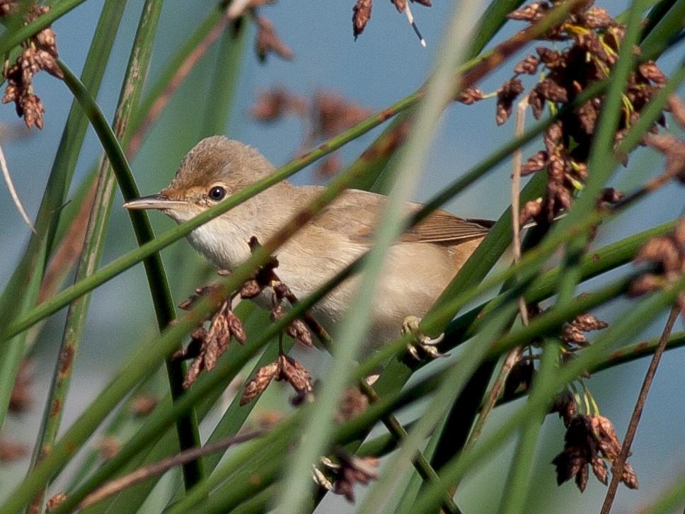 Marsh Warbler - Vladan Vuckovic