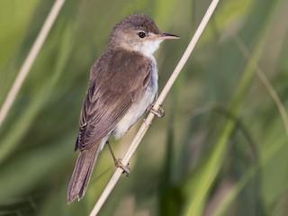 - Marsh Warbler