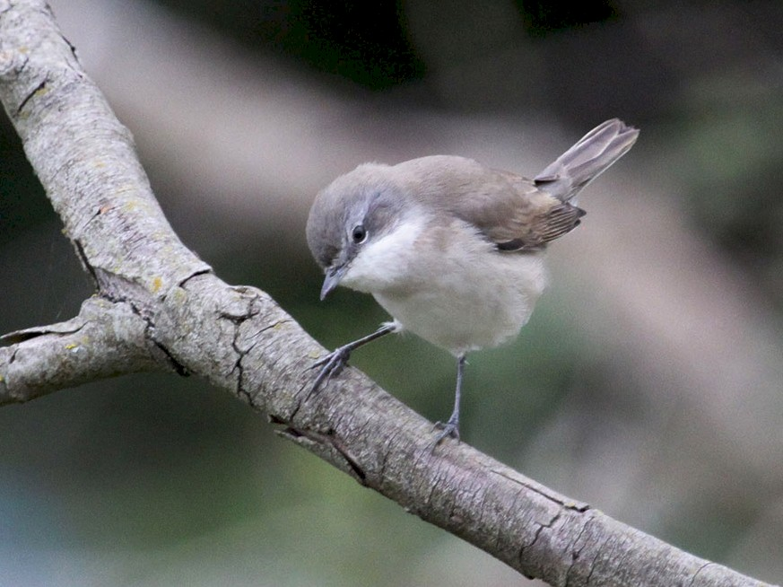 Lesser Whitethroat - Ricardo Brandao