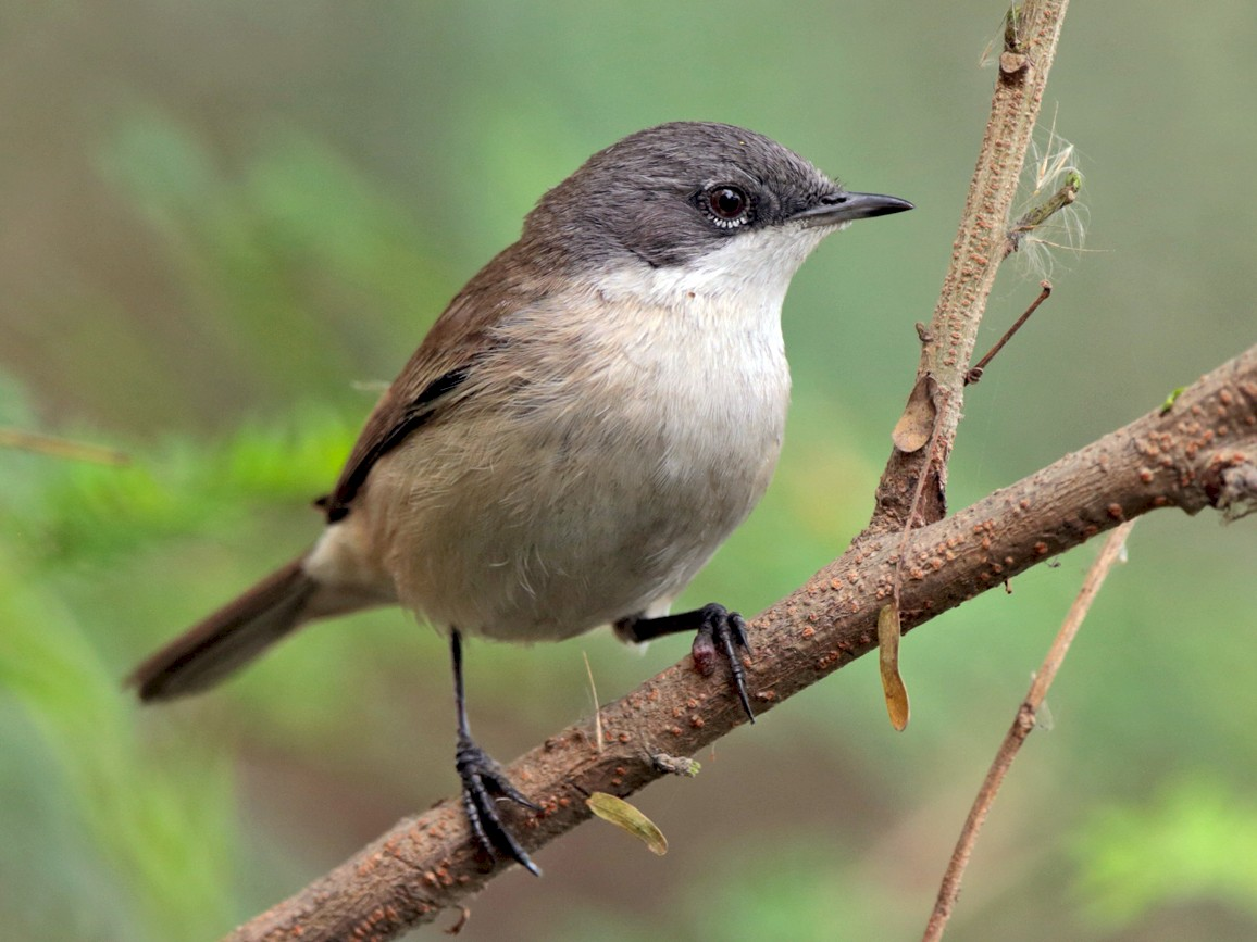 Lesser Whitethroat - Aaron Maizlish