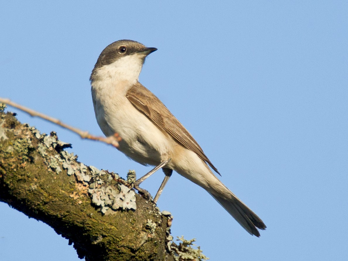 Lesser Whitethroat - Robert Lewis