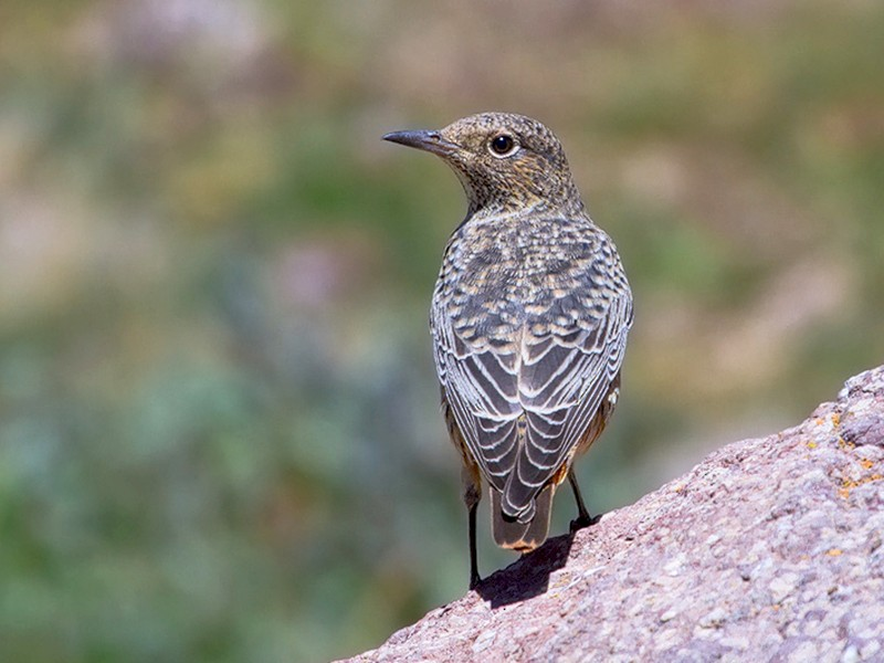 Rufous-tailed Rock-Thrush - Asghar Mohammadi Nasrabadi