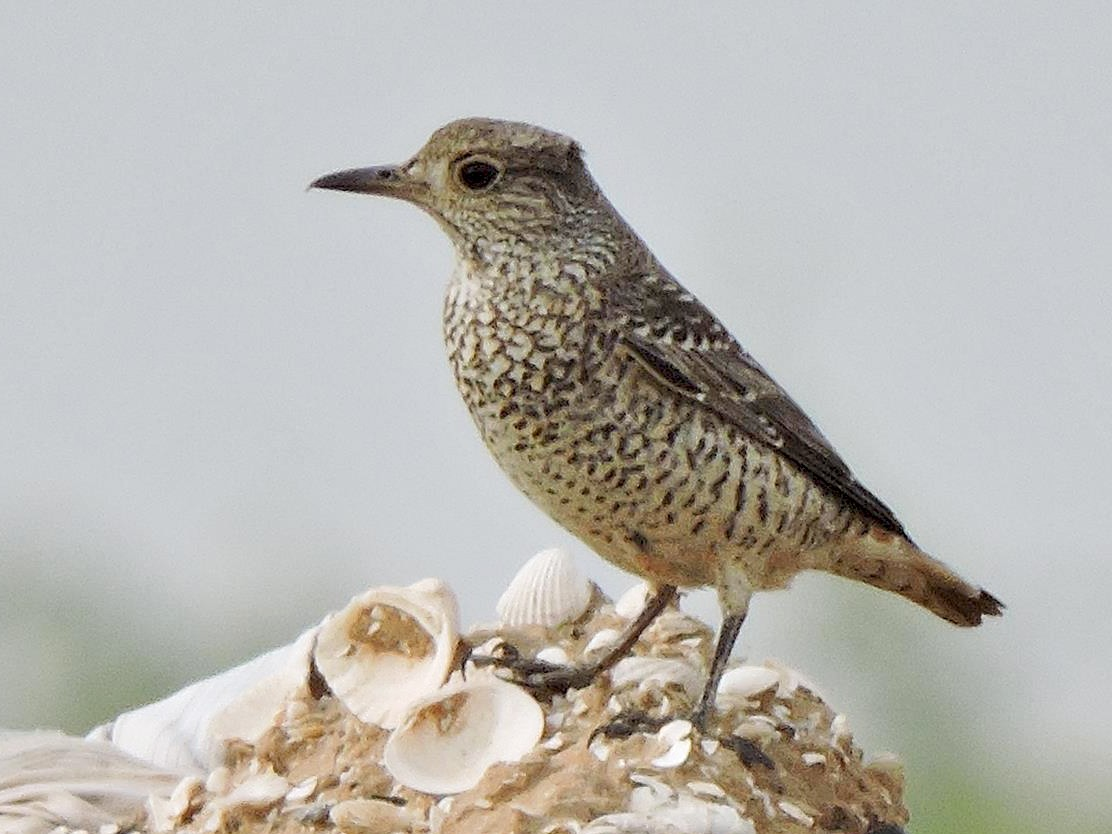 Rufous-tailed Rock-Thrush - Robert Tovey