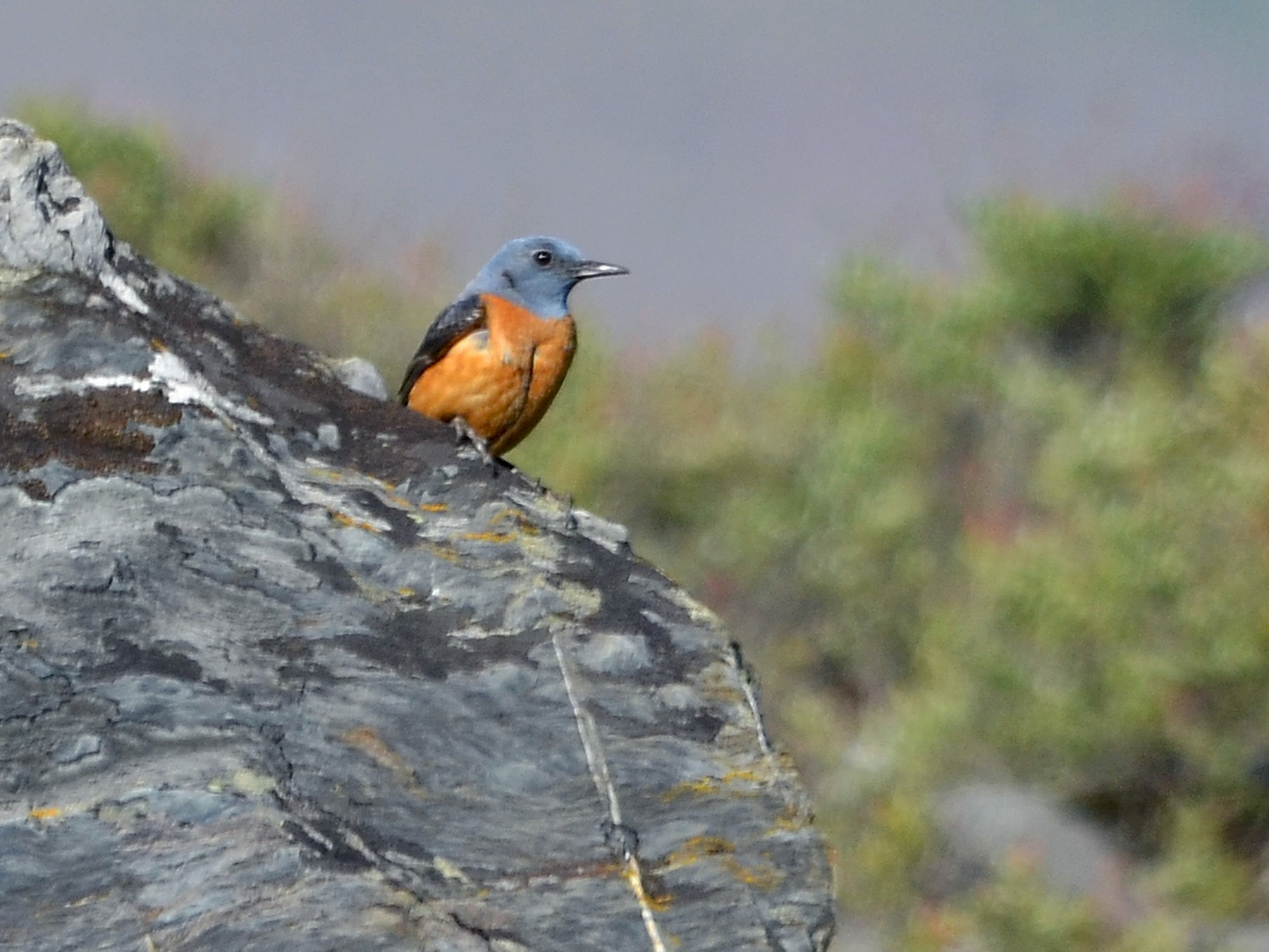 Rufous-tailed Rock-Thrush - José Frade