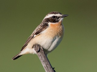 - Whinchat