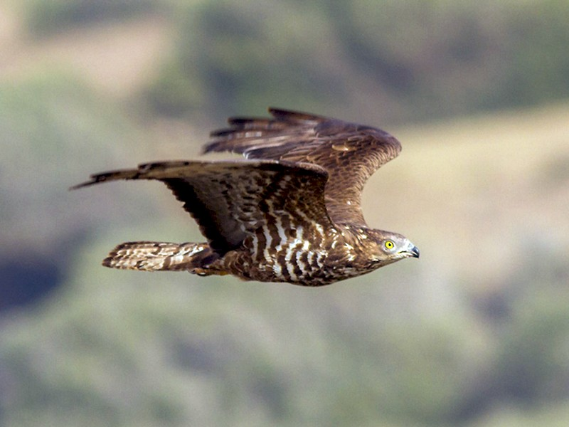 European Honey-buzzard - Yeray Seminario