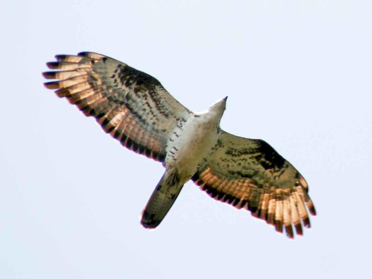 European Honey-buzzard - Jean-Sébastien Guénette