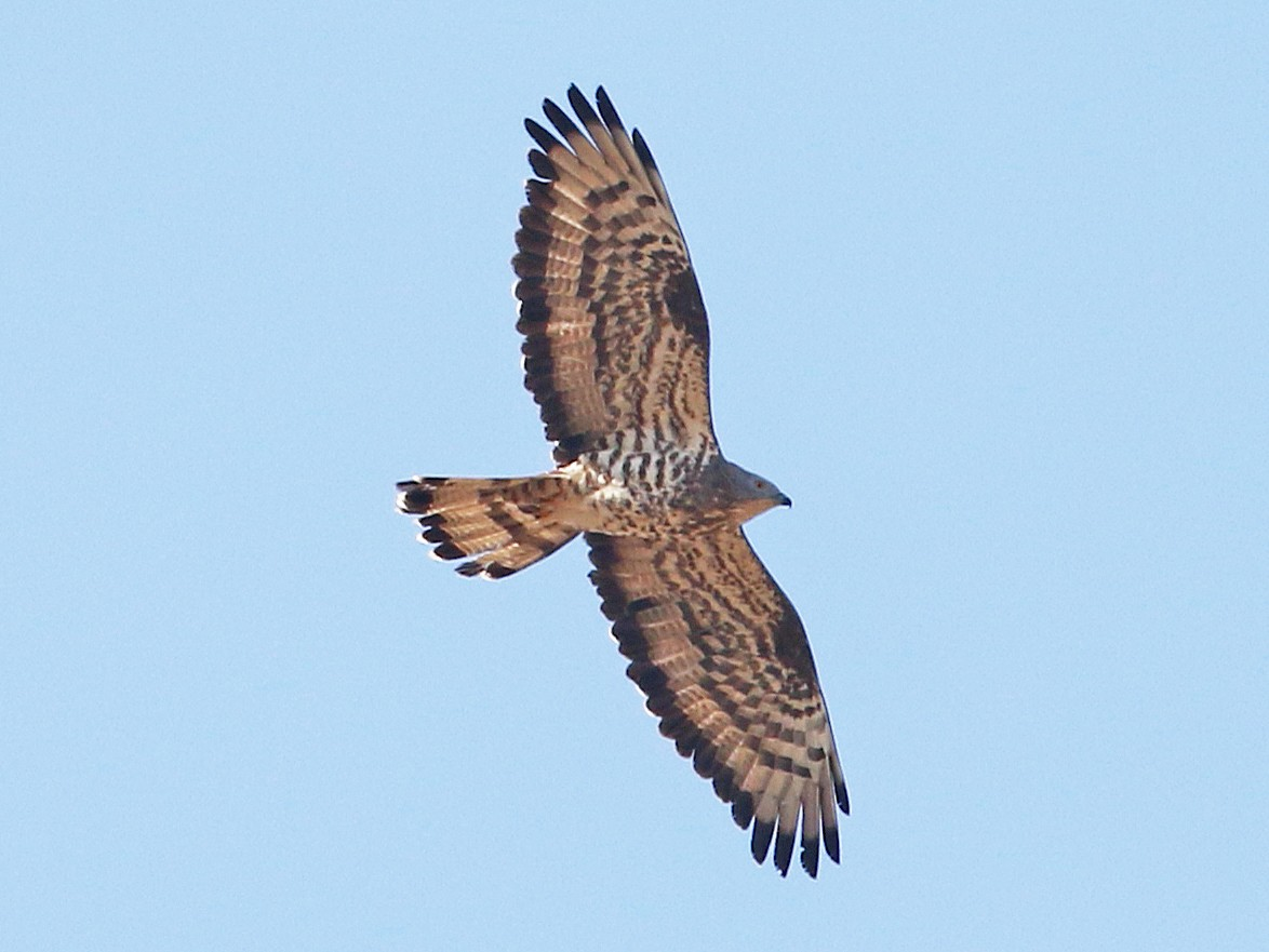 European Honey-buzzard - Daniel Jauvin