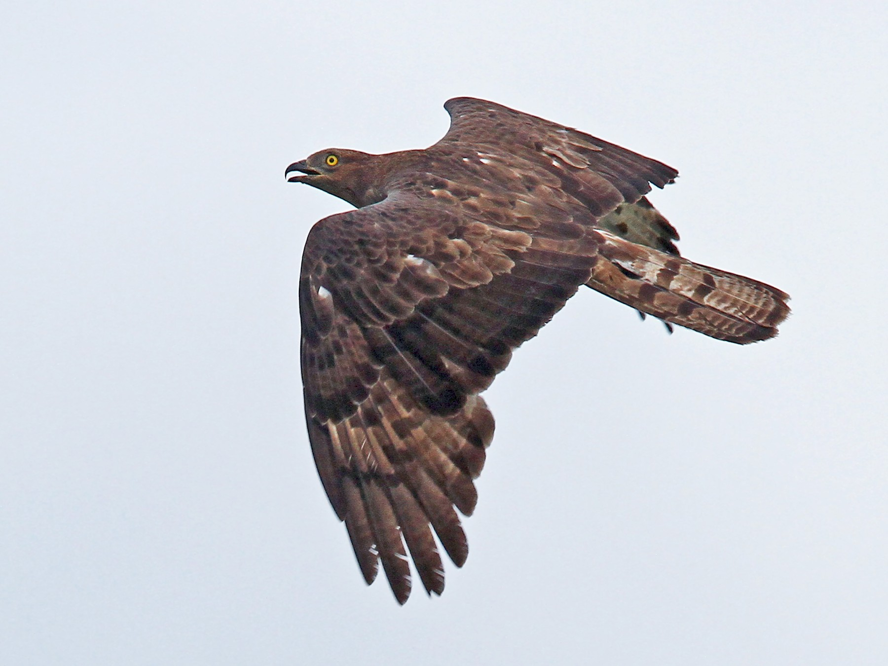 European Honey-buzzard - Volker Hesse