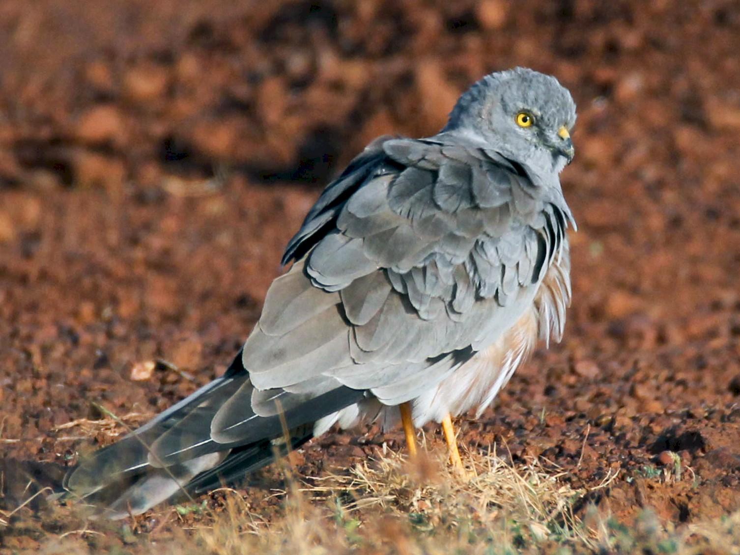 Montagu's Harrier - Praveen  Kumar