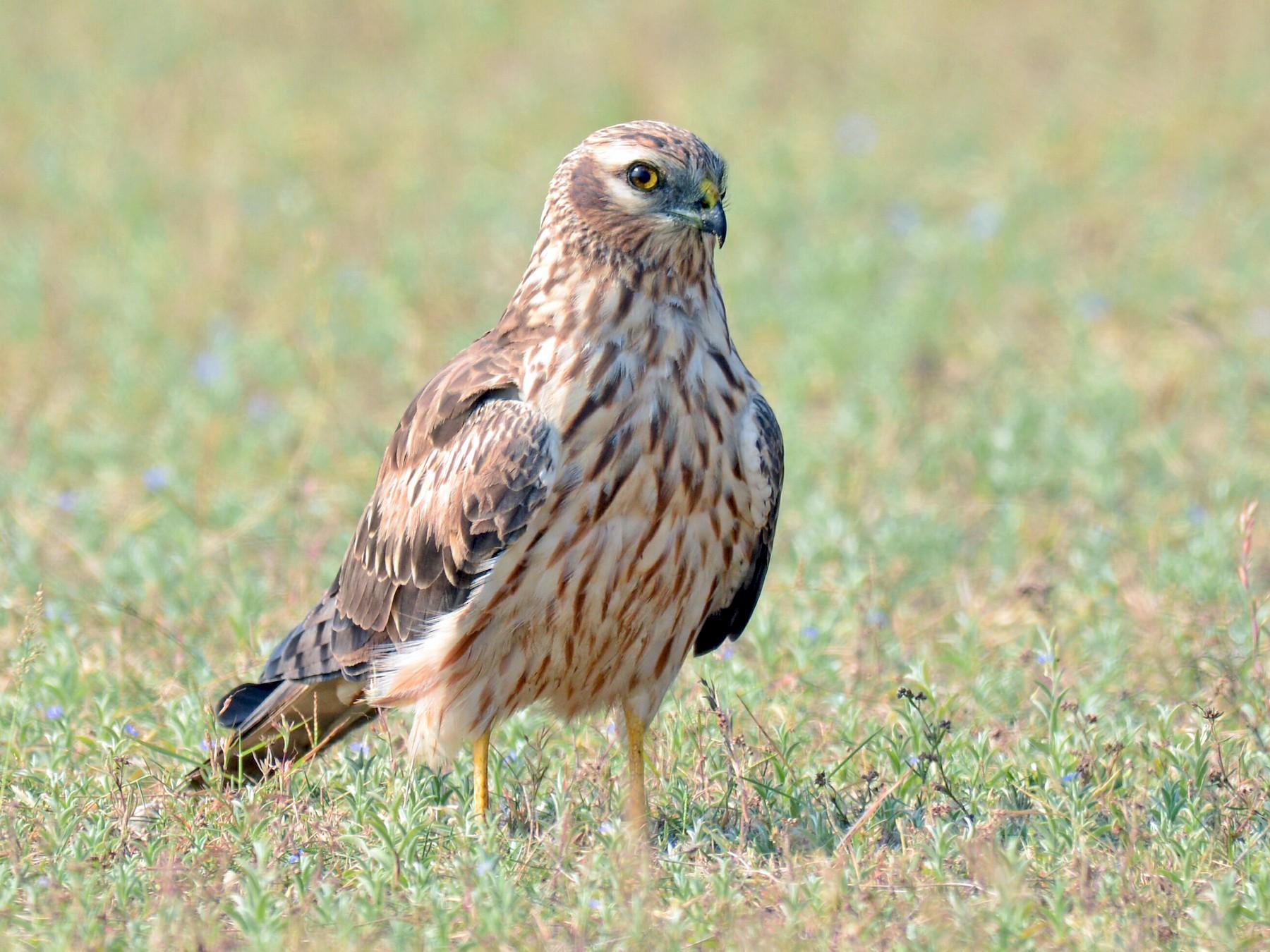 Montagu's Harrier - Renuka Vijayaraghavan