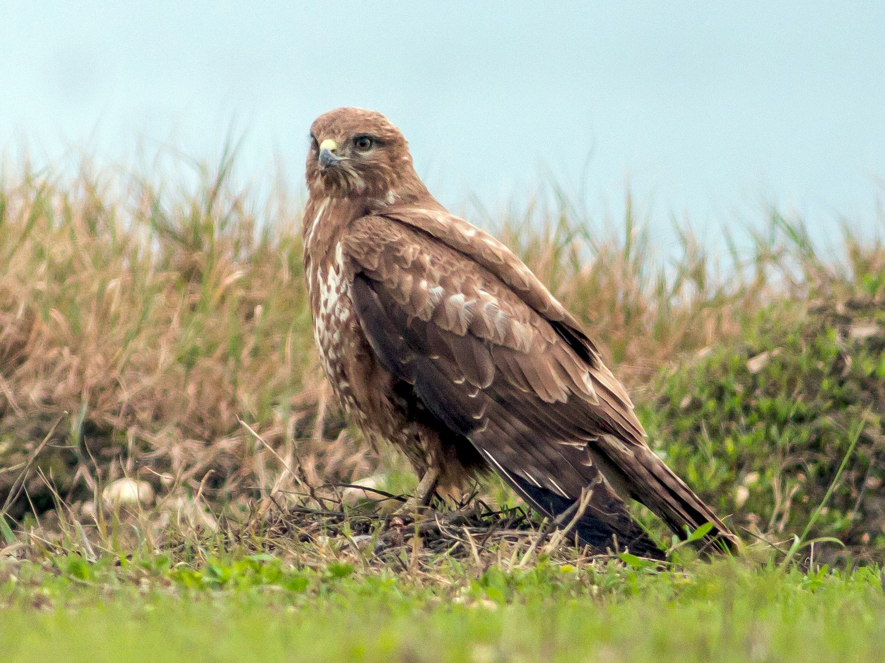 Common Buzzard - Paulo Doutel