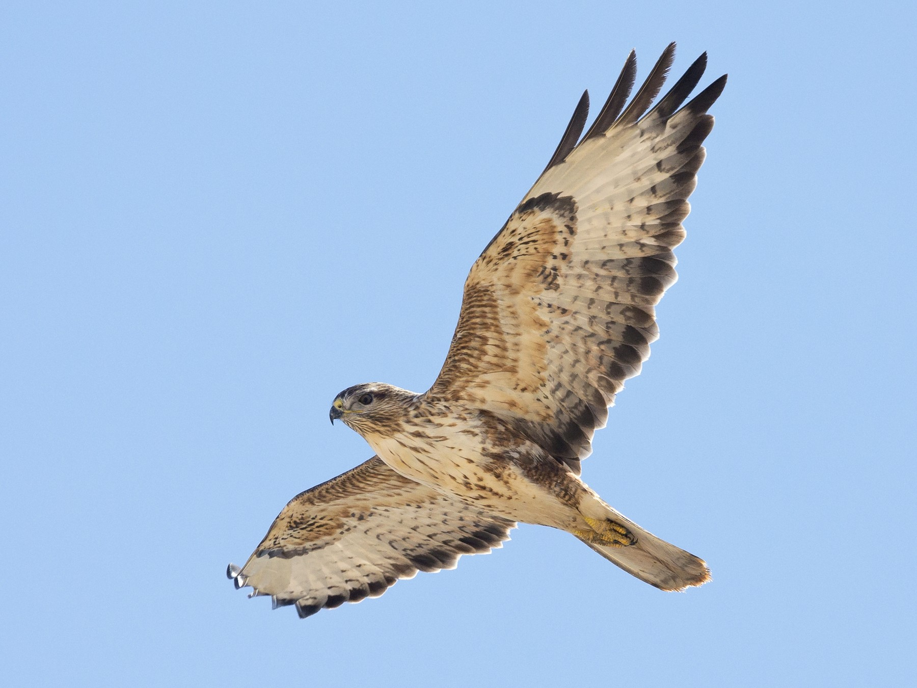 Common Buzzard - Omar alshaheen