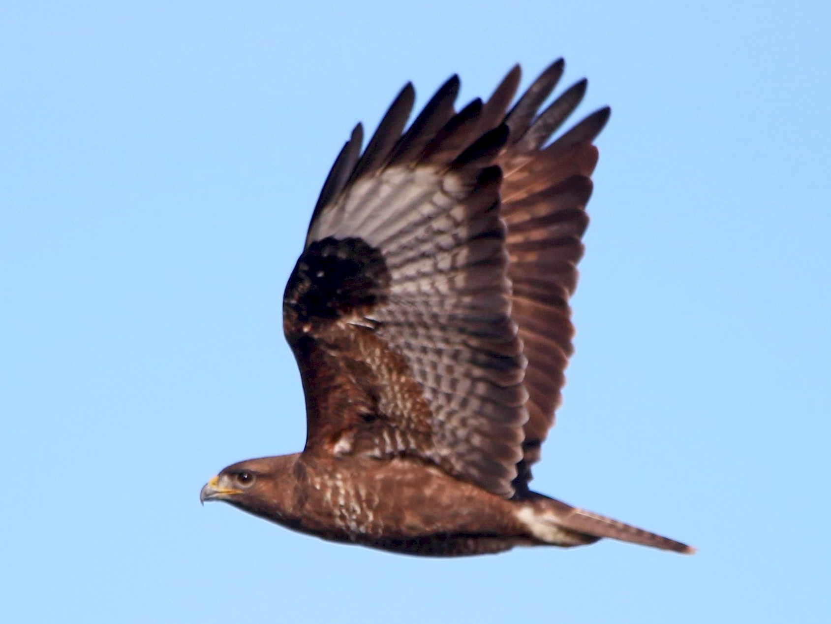 Common Buzzard - Alexandre Hespanhol Leitão