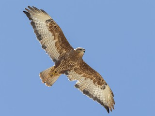 - Common Buzzard (Steppe)