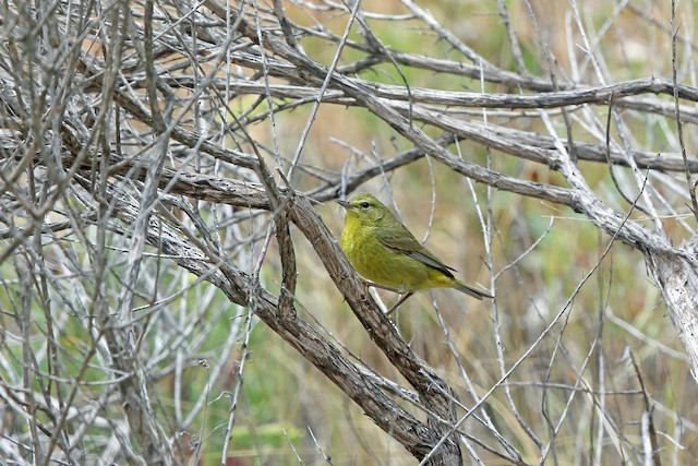 Orange-crowned Warbler (sordida)