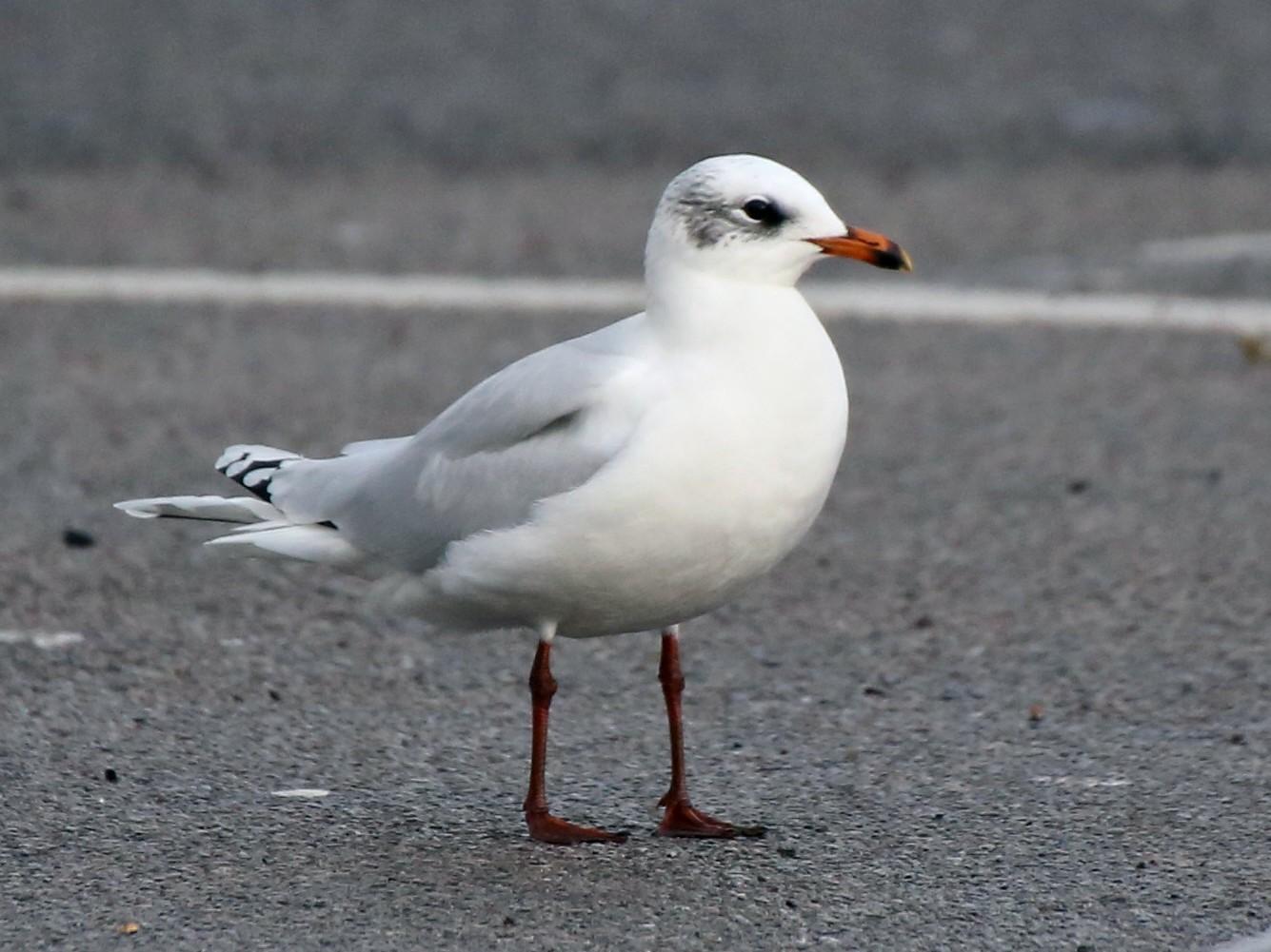 Mediterranean Gull - Paul Chapman