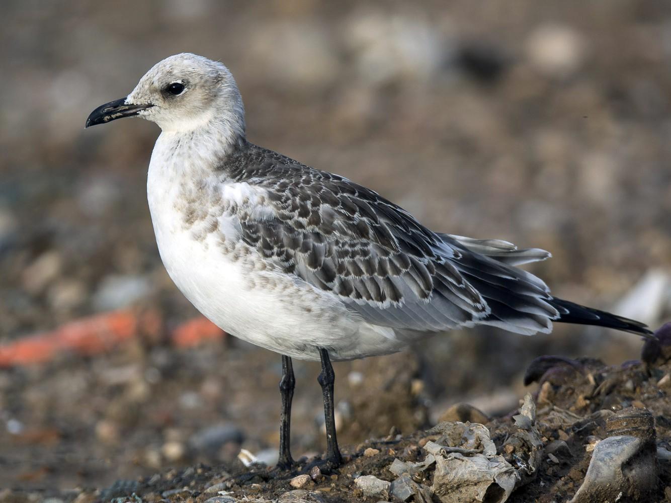 Mediterranean Gull - Ricardo Rodríguez