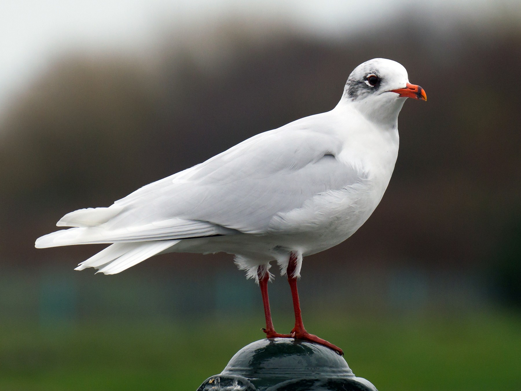 Mediterranean Gull - Ric Else