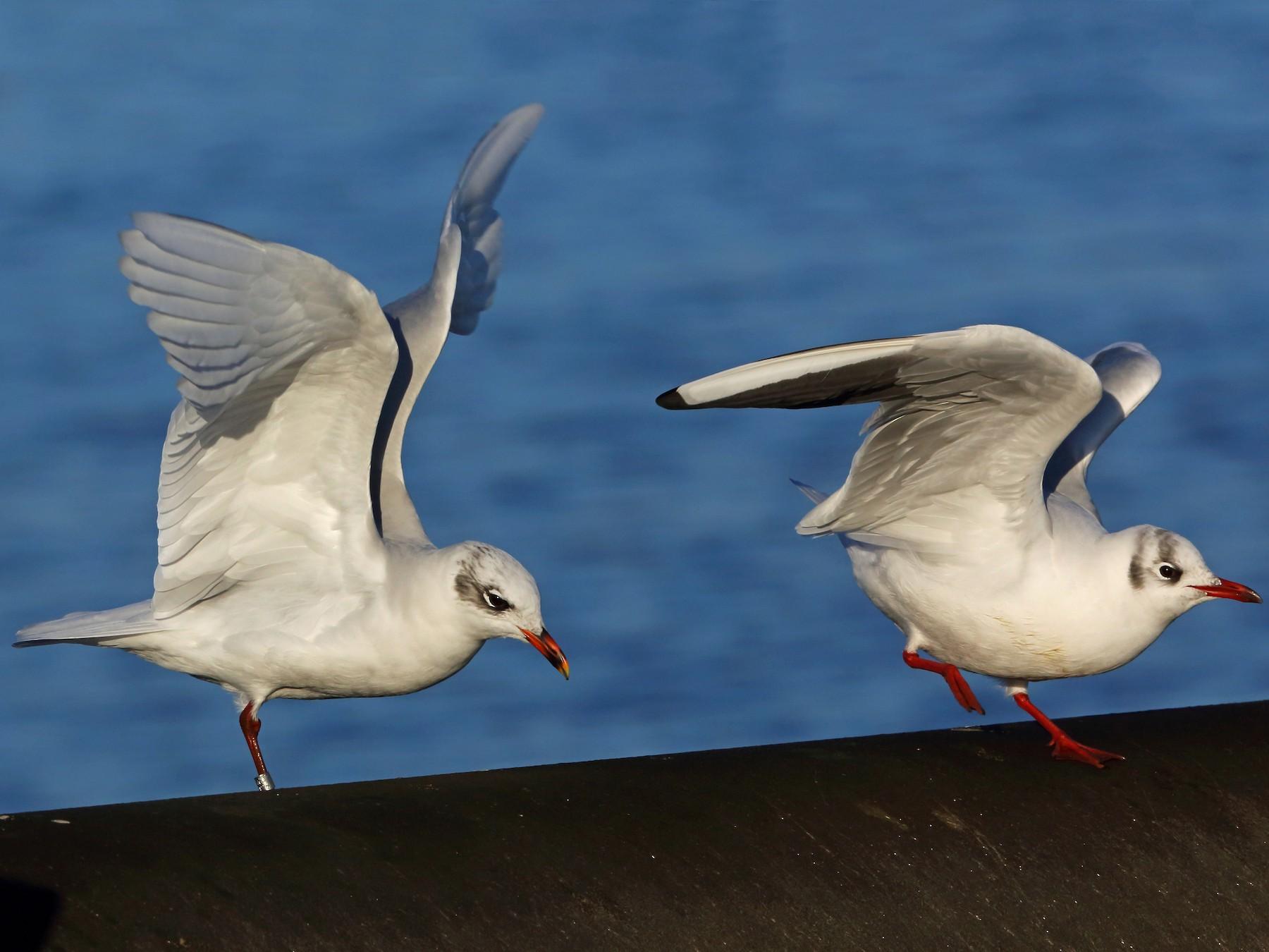 Mediterranean Gull - Nigel Voaden