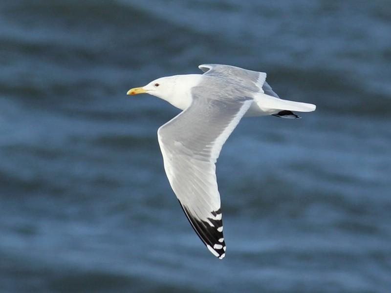 Caspian Gull - Adrien Mauss