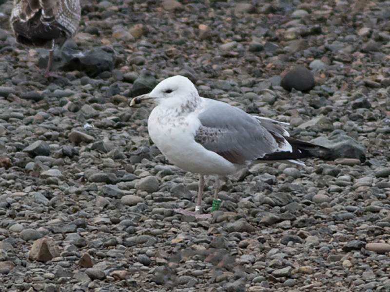 Caspian Gull - Josh Jones