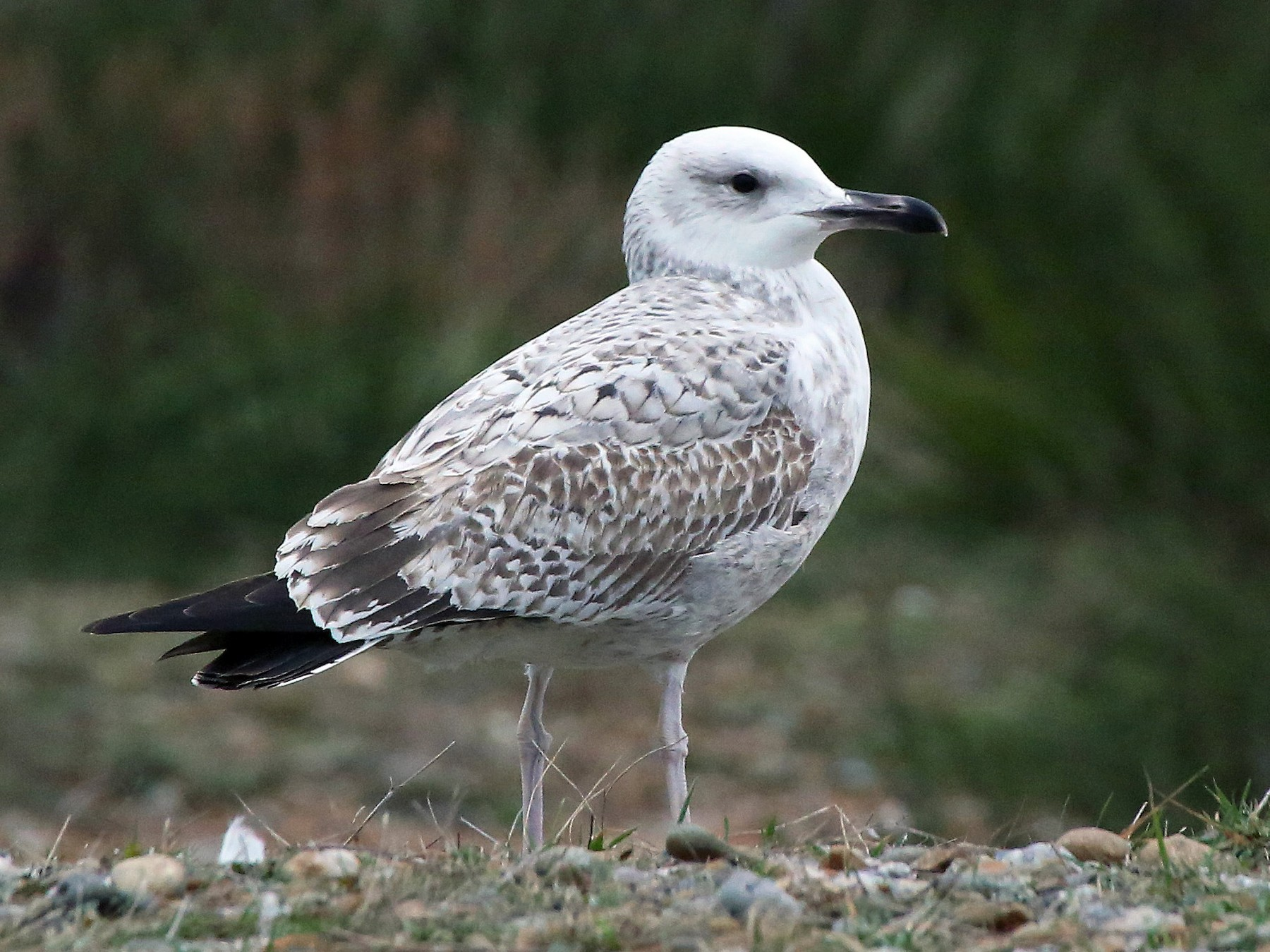 Caspian Gull - Paul Chapman
