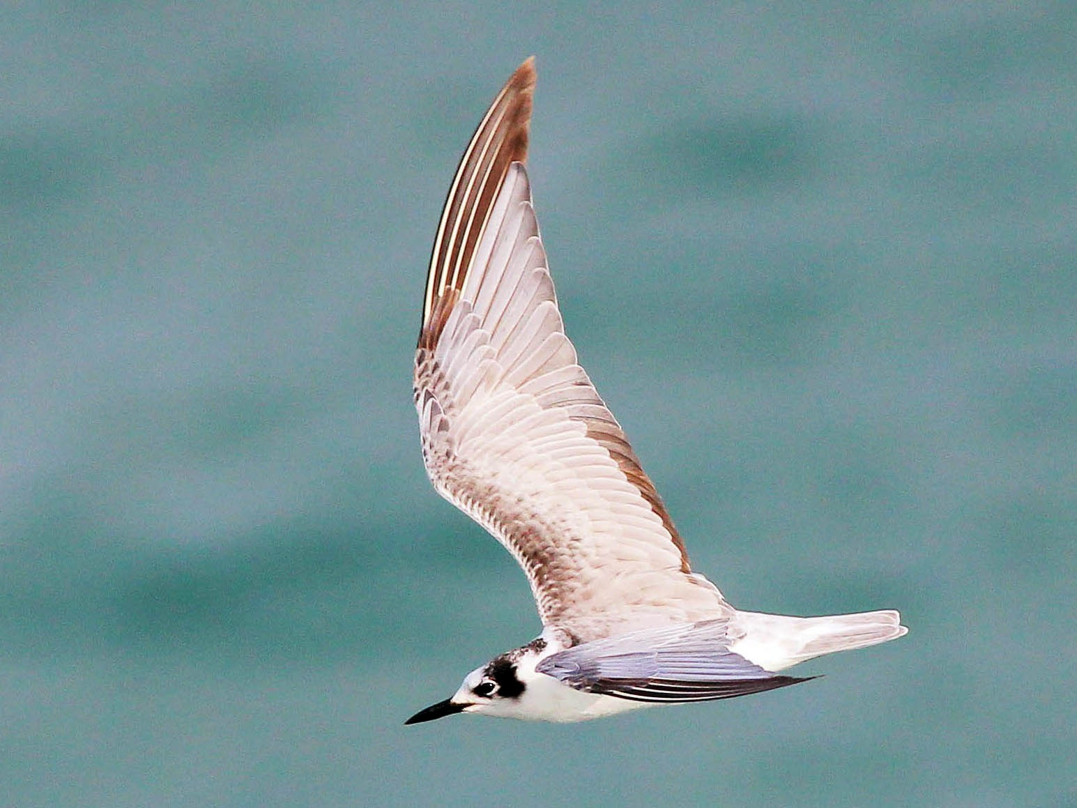 White-winged Tern - Neoh Hor Kee